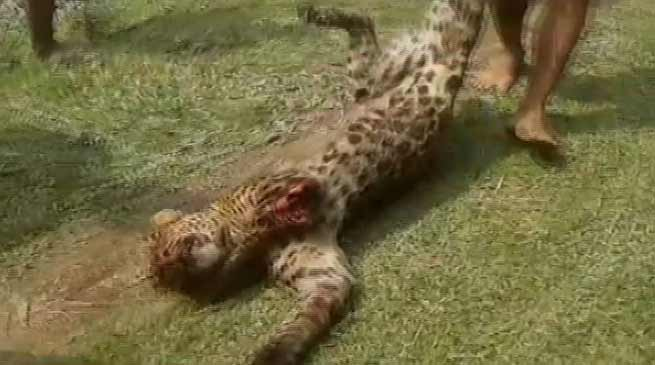 Assam: Local killed Leopard near Dibrugarh