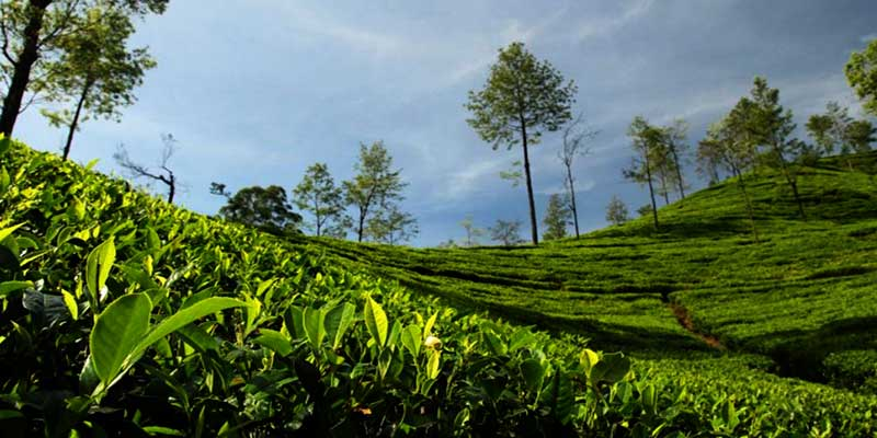 Tea industry in Assam, W-Bengal faces 2100 Cr loss due to Lockdown- ITA